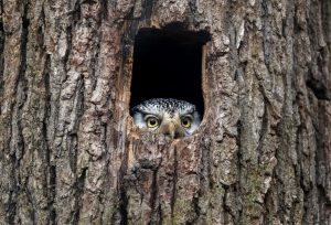 Owl peaking out of a tree trunk